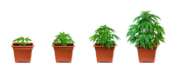 Growing your own marijuana